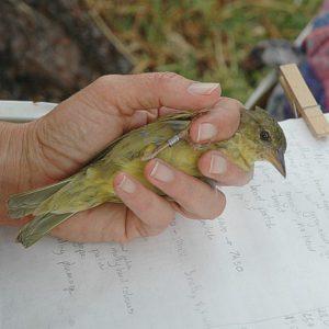 cbc-bird ringing die ogg 13 june 2012