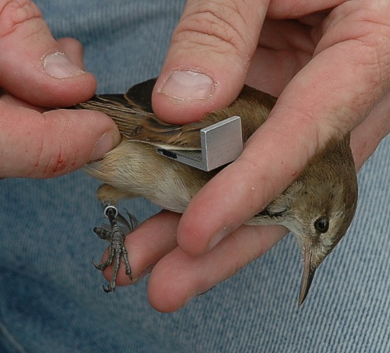 Bird Ringing at Edith Stephens Nature Reserve.