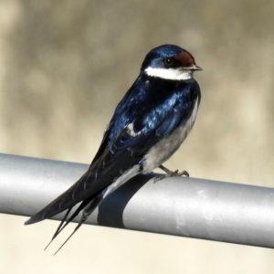Paarl Bird Sanctuary Counts in 2017.