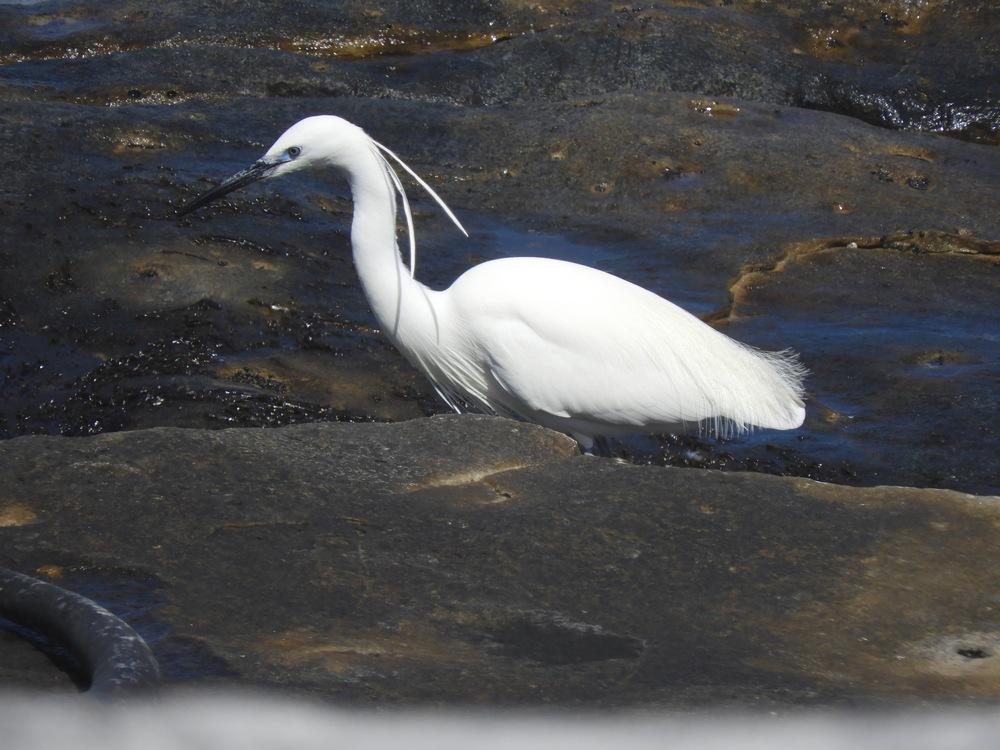 Little Egret foraging on the rocks - Gillian Barnes