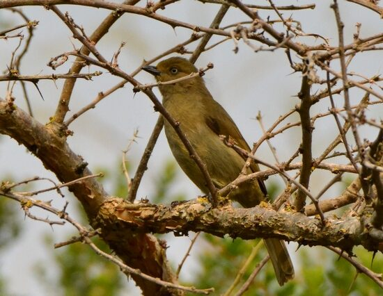 Sombre Greenbul. Photo by Myburg Brink