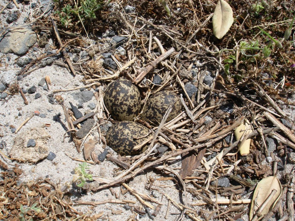 Blacksmith Lapwing nest at side of road - Mel Tripp