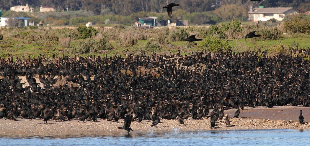 Cape Cormorants - Lower Berg River crop