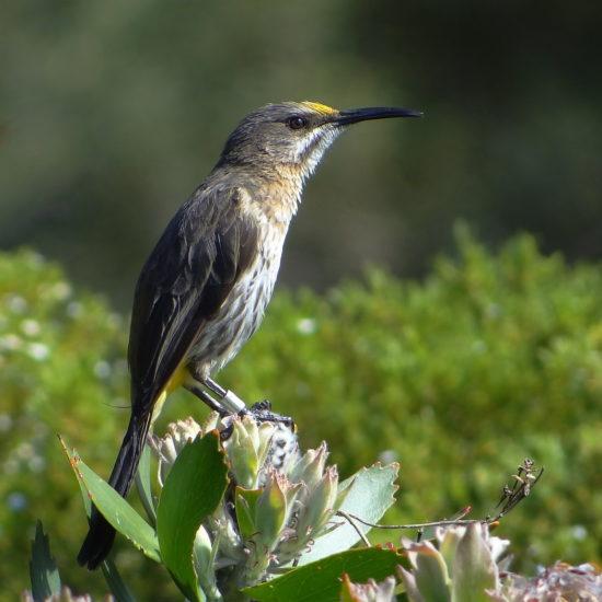Cape Sugarbird. Photograph by Otto Schmidt