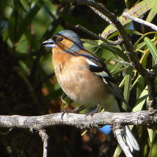 Common Chaffinch. Photograph by Otto Schmidt