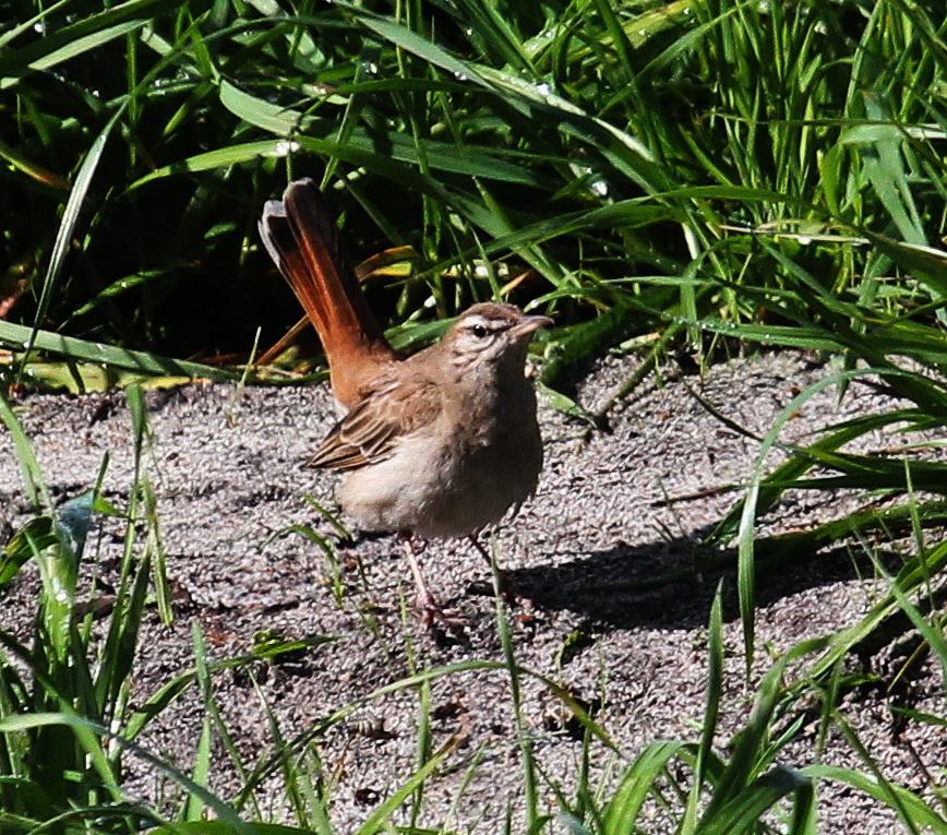 Rufous-tailed Scrub-Robin - Otto Schmidt