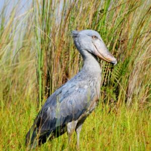 An Adventure to See a Shoebill – August 2017