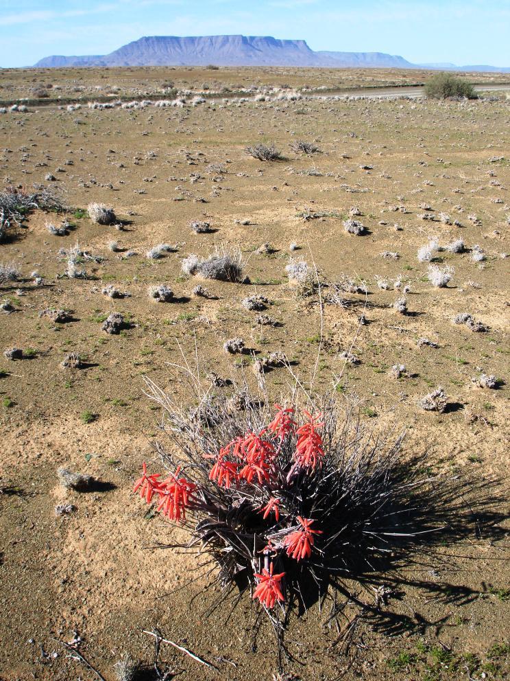 Tanqua Variegated Aloe - Mel Tripp