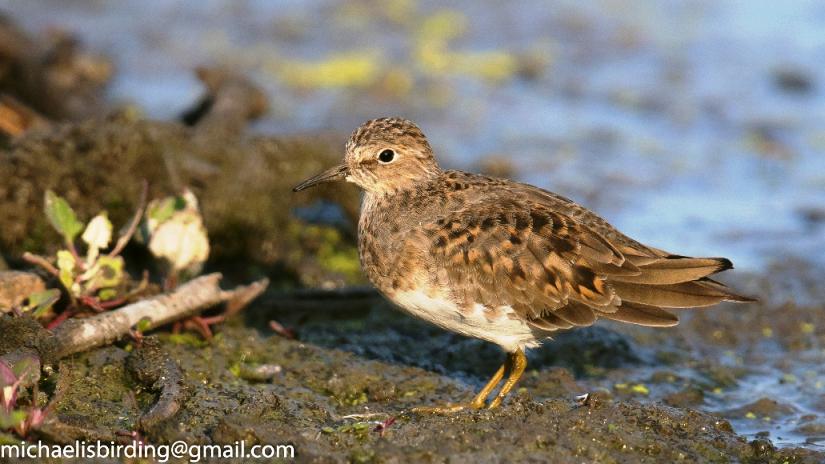 The rare Temminck's Stint Breeding plumage - Michael Mason