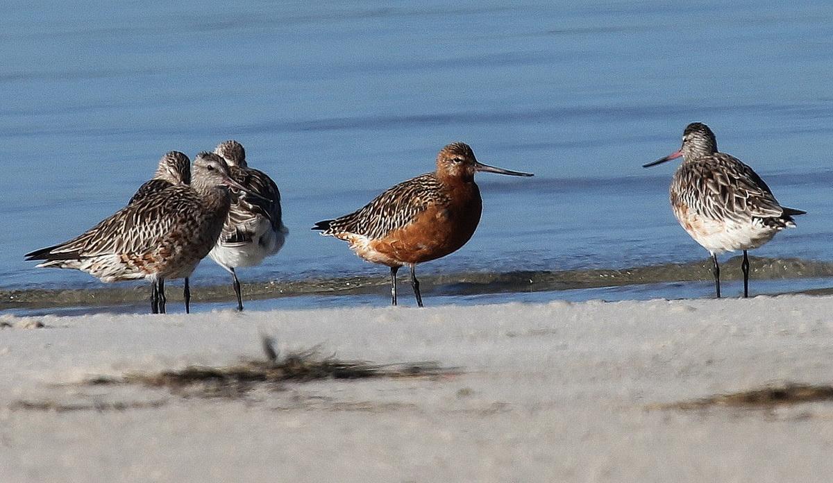 Bar-tailed Godwits - Otto Schmidt