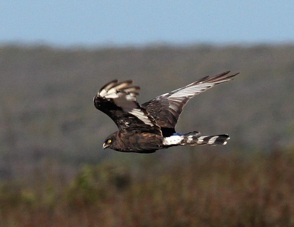 Black Harrier - Otto Schmidt