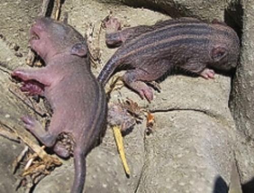 zimp-mammal four striped mouse pups BB dec 2008