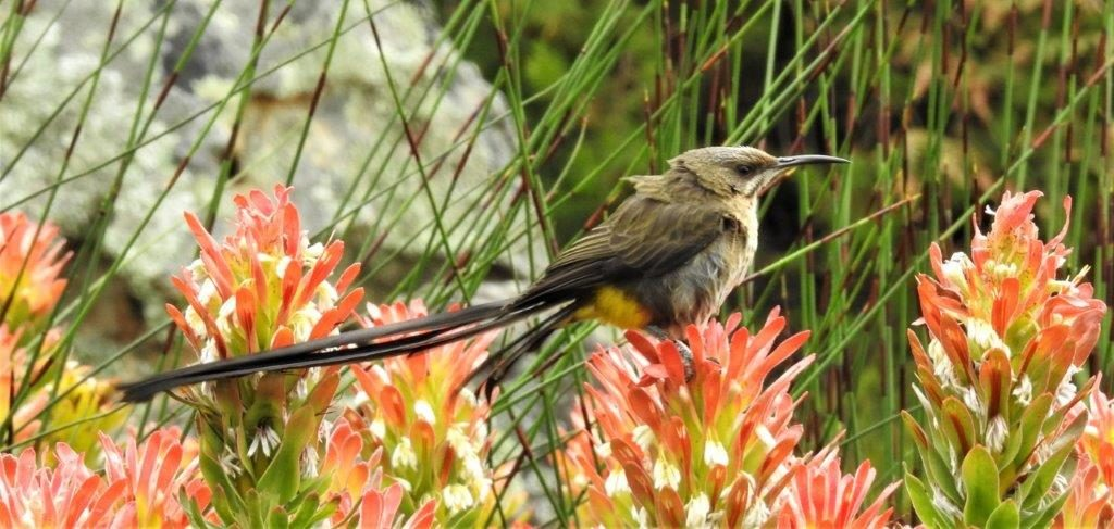 Cape Sugarbird. Photograph by Daryl de Beer