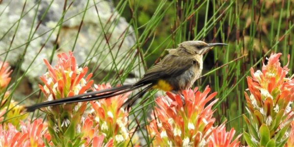 Kirstenbosch Bird Walk –  21st November 2017 led by Graham Pringle.