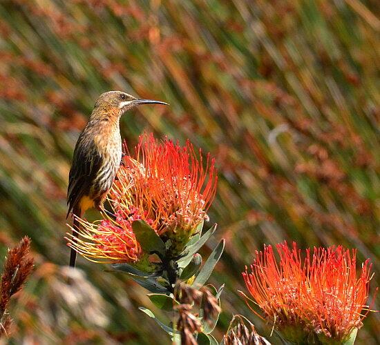 Cape Sugarbird/Kaapse Suikervoël