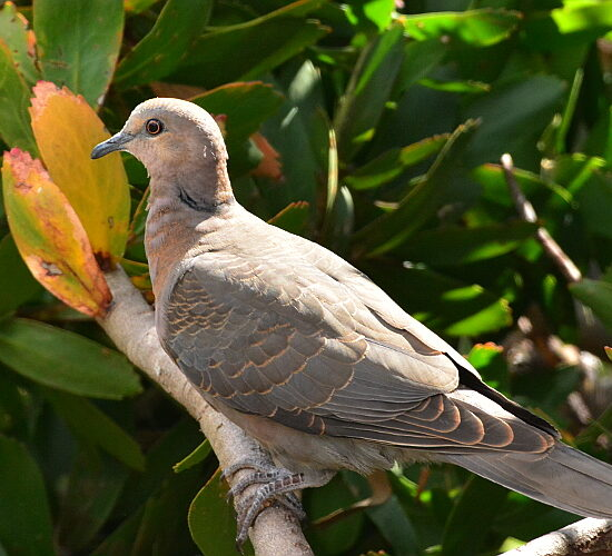 Cape Turtle Dove/Gewone Tortelduif