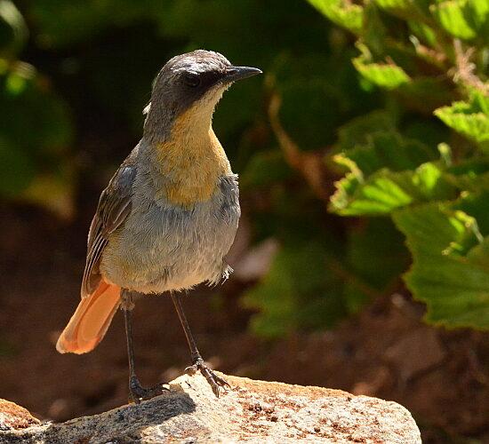 Cape Robin-chat/Gewone Janfrederik