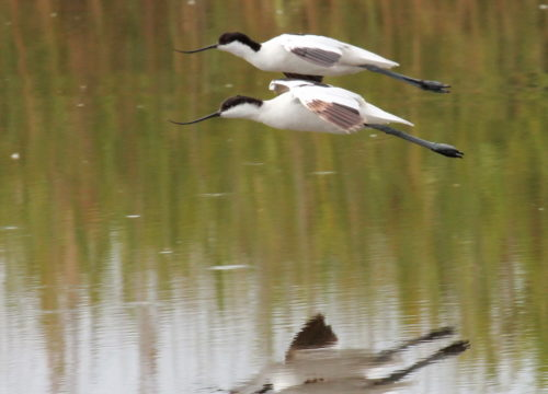 Pied Avocets, Zandvlei. Photograph by Otto Schmidt