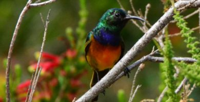 Orange Breasted Sunbird. Photograph by Myburgh Brink.