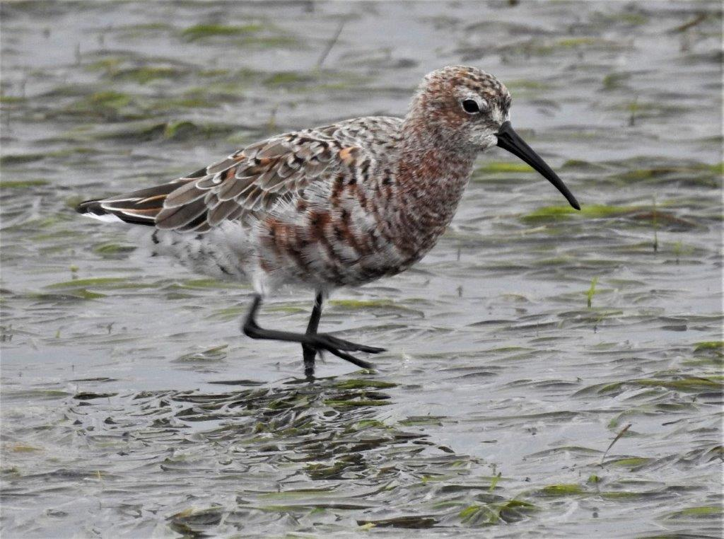 Curlew Sandpiper Photograph by Daryl de Beer