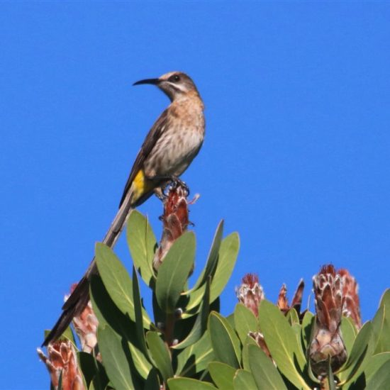 Cape Sugarbird, Kirstenbosch. Photograph by Graham Pringle