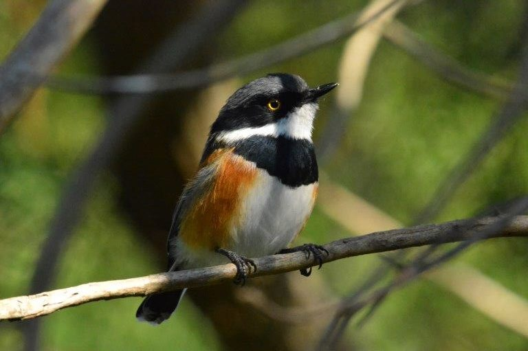 Male Cape Batis. Photograph by Myburgh Brink