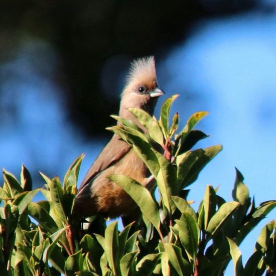 Speckled Mousebird. Photograph by Graham Pringle