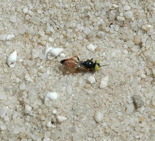 This fly species fell off the shrub and lay on its back motionless for a while