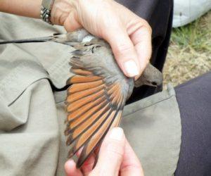 Bird ringing Nov 2010