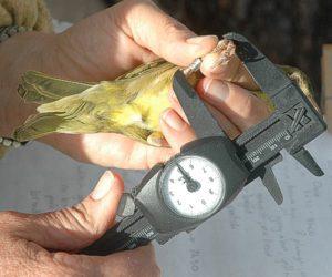 Bird Ringing Die Oog June 2012