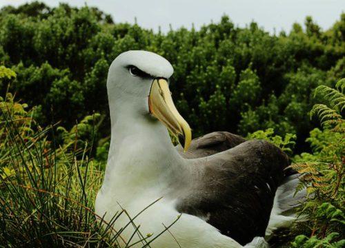 Salvins albatross March 2015