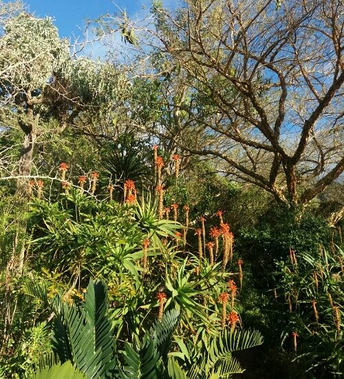 The aloes are in full bloom, supplying the bees and wasps with pollen and nectar.