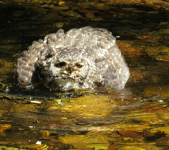 Spotted Eagle Owl sequence of bathing in a stream near the pathway