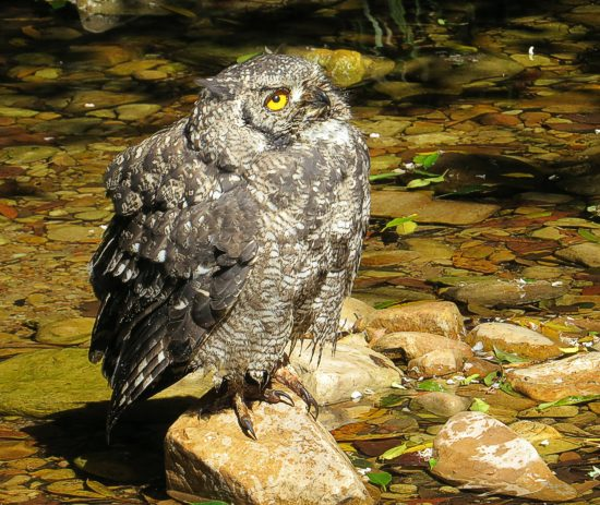 Spotted Eagle Owl bathing