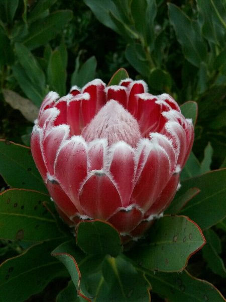 A magnificent protea bloom