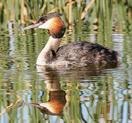 Great crested grebe May 2010