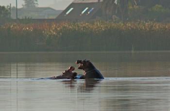 cbc-fbnr-hippo-at-rondevlei-june-2010