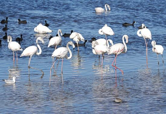 Birdathon May 2013, Strandfontein, Southern Birding Area, False Bay Nature Reserve, Greater Flamingo, Strandfontein, Southern Birding Area,