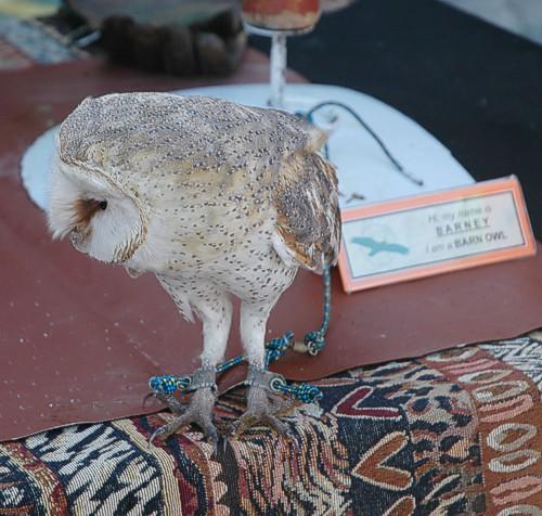 Barn Owl, Birdathon May 2013, Strandfontein, Southern Birding Area, False Bay Nature Reserve