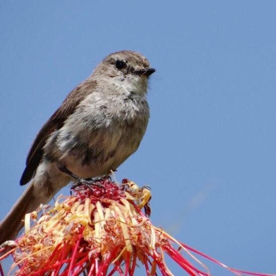 Cape Bird Club Kirstenbosch African Dusky Flycatcher 03 03012017 john rogers