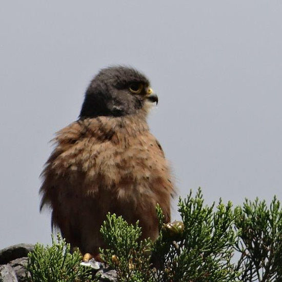 Cape Bird Club Kirstenbosch Rock Kestrel 02 03012017 john rogers