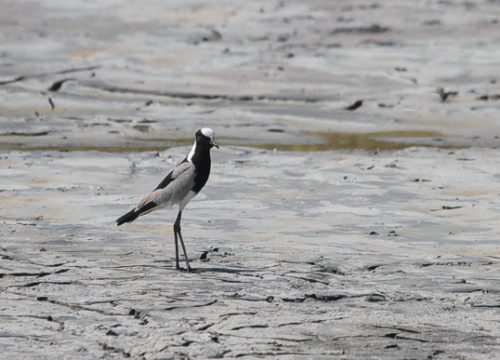 One lone Blacksmith Lapwing on the dried up Central Pan. Photo by Andrew de Blocq