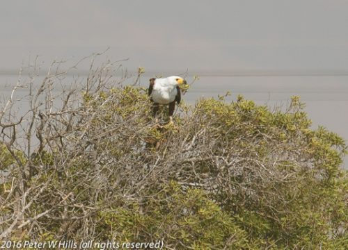 One of the resident African Fish Eagles.