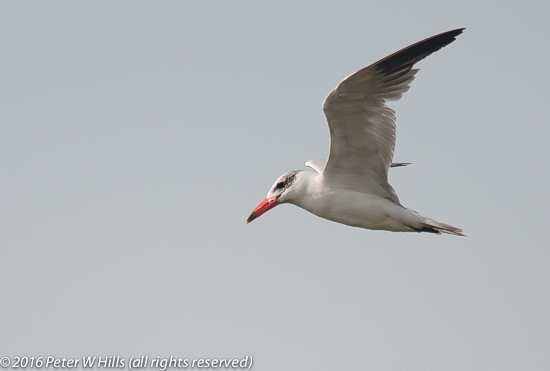 A juvenile Caspian Tern.