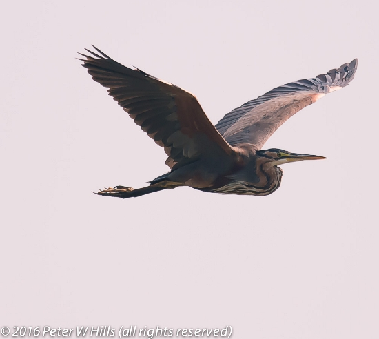 A Purple Heron.