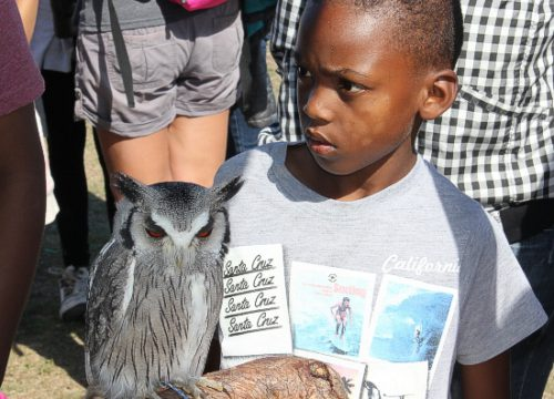 The Whit-faced Owl.