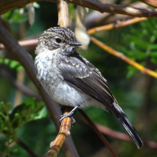African Dusky Flycatcher (juvenile). Photograph by Otto Schmidt