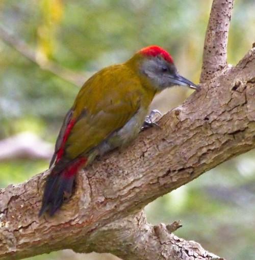 Olive Woodpecker by Frank Hallett April 2012