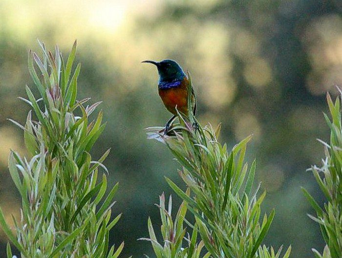 Orange Breasted Sunbird - Kirstenbosch. Photograph by Marlene Hofmeyr.
