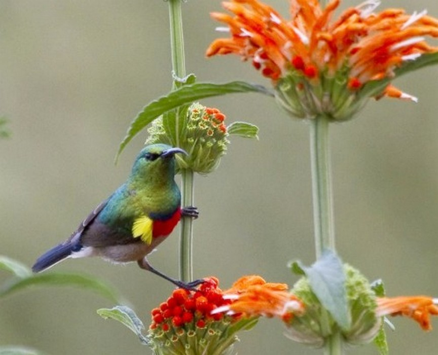 Southern Double-collared Sunbird by Frank Hallett April 2012